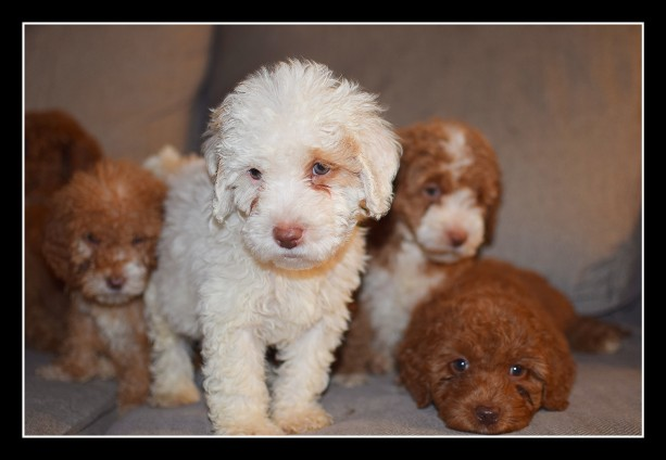 parti labradoodle, white and red labradoodle