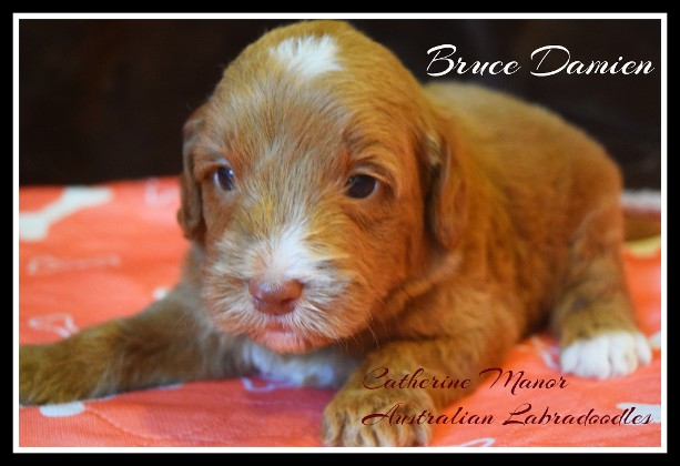 red labradoodle puppy